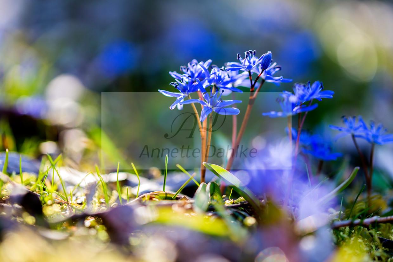 Wandbild Fotografie Frühlingssterne